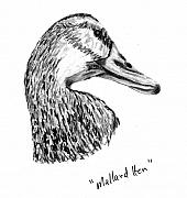 Duck Hunting Drawings - Head of a Mallard Hen by Kevin Callahan