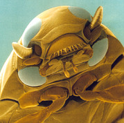 Whirligig Posters - Head Of A Whirligig Beetle, Sem Poster by Power And Syred