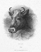 1870 Posters - HEAD OF COW, c1870 Poster by Granger