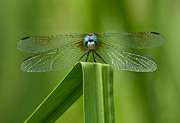 Dragonfly Macro Photos - Head on Dragonfly by Steve Zimic