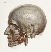 Hand-colored Lithograph Framed Prints - Head Vascular Anatomy, Historical Artwork Framed Print by 