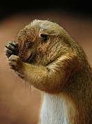 Prairie Dog Art - Headache by Mike Martin
