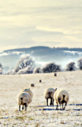 Sheep Farm Prints - Heading Home Print by Meirion Matthias