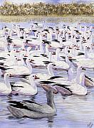 Snow Geese Framed Prints - Heading North Framed Print by Catherine G McElroy