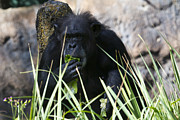 Ape Photo Originals - Healthy Diet by Nicholas Evans