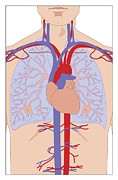 Heart Healthy Posters - Heart And Lungs, Artwork Poster by Peter Gardiner