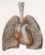 Hand-colored Lithograph Framed Prints - Heart And Lungs, Historical Illustration Framed Print by 