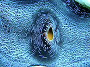 Animals Photos - Heart Of Giant Clam by Dr Peter M Forster