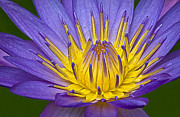 Waterlily Art - Heart Of Gold by Susan Candelario