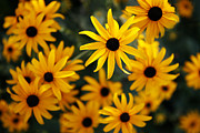 Black Eye Susan Prints - Heart of Summer Print by Marilyn Hunt