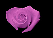 Fushia Digital Art - Heart-Shaped Hot Pink Rose by Glennis Siverson