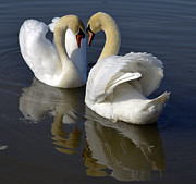 Pinion Art - Heart swans by Brian Stevens