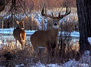 Whitetails Framed Prints - Heartbeat Of The Wild Framed Print by Bill Stephens