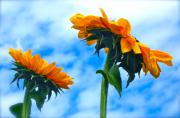 Sunflower Photograph Posters - Heaven above ... Poster by Gwyn Newcombe