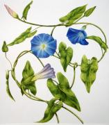 Tendrils Paintings - Heavenly blue morning glory by Veronika Logar