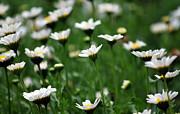 Amee Stadler - Heavenly Daisies