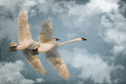 Swans... Posters - Heavenly Flight Poster by Reflective Moments  Photography and Digital Art Images