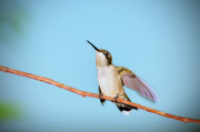 Ruby-throated Hummingbird Photos - Heavenward by Betty LaRue