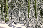 Redwoods Prints - Heavy snow Print by Garry Gay