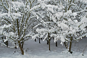 Winter Trees Photo Originals - Heavy Snow by Terence Davis