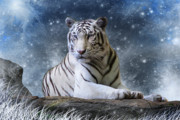 White Tiger Framed Prints - Hector Framed Print by Julie L Hoddinott