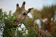 Giraffe Photos - Hedge Trimmer by Bruce J Robinson