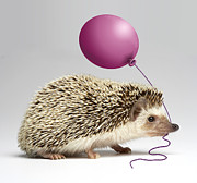 Wildlife Celebration Metal Prints - Hedgehog Holding Balloon In Mouth, Close-up Metal Print by American Images Inc