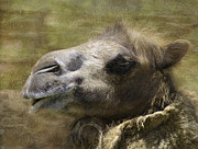 Camel Photos - Heh Heh That Made Me Chuckle by Diane Schuster