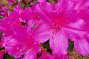Azalea Pictures Posters - Heirloom Azaleas I Poster by Sheri McLeroy