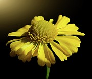 Photography.  Prints - Helenium Print by Gitpix