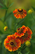 JHR  Photo ART - Helenium