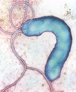 Stomach Cancer Posters - Helicobacter Pylori Bacterium Poster by Nibsc