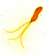 Stomach Cancer Posters - Helicobacter Pylori Bacterium, Tem Poster by