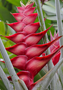Photos With Red Photo Prints - Heliconia Caribea Print by Kelly Headrick