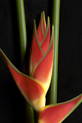 Heliconia Framed Prints - Heliconia Framed Print by Gary Zuercher