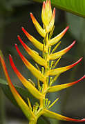 Wild Plant Photo Acrylic Prints - Heliconia Gloriosa  Acrylic Print by Heiko Koehrer-Wagner