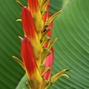 Wild Plant Photo Acrylic Prints - Heliconia Acrylic Print by Heiko Koehrer-Wagner