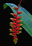 Heliconia Framed Prints - Heliconia Framed Print by Larry Linton