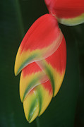 Zingiberales Prints - Heliconia rostrata - Hanging Heliconia Print by Sharon Mau
