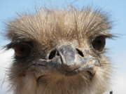 Ostrich Photos - Hello by Amity Kloss