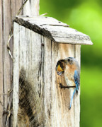 Eastern Bluebird Posters - Hello Baby Poster by Betty LaRue