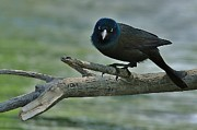 Common Grackle Posters - Hello Poster by Joy DiNardo Bradley         DiNardo Designs