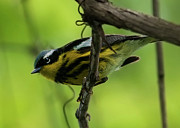 Magnolia Warbler Photos - Hello... by Nina Stavlund