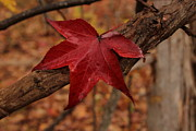 Photos Of Autumn Photo Metal Prints - Hello Red Metal Print by Bob Whitt