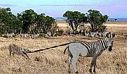 Kenya Wildlife Framed Prints - Hello says the Zebra Framed Print by Jim Kuhlmann