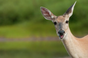 Fawn Photos - Hello by Sebastian Musial