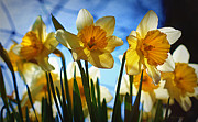 Jonquils Photos - Hello Spring by Cricket Hackmann
