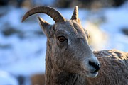 Big Horn Sheep Framed Prints - Hello There Framed Print by Adam Jewell