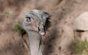 Ostrich Photo Framed Prints - Hello There Framed Print by Martina Thompson
