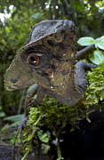 Featured Art - Helmeted Iguana Costa Rica by Piotr Naskrecki